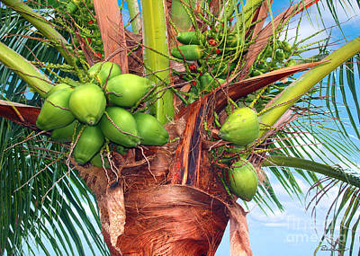 Coconut Palm Treasure Coast Florida C1 Art Print