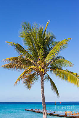 Photograph - Coconut Palm Tree by Diane Macdonald