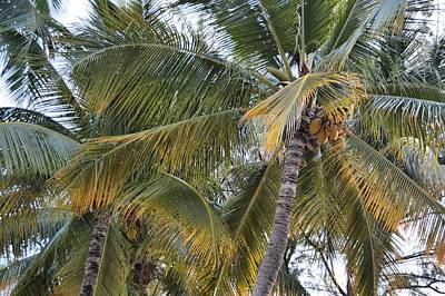 Photograph - Coconut Palms by JAMART Photography