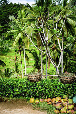 Photograph - Coconuts At Tegalalang Rice Terrace, Ubud, Bali, Indonesia by Global Light Photography - Nicole Leffer