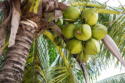 Photograph - Coconuts by Suzanne Luft