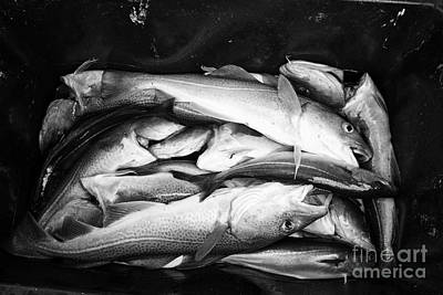 Icelandic Fish Photograph - cod pollock and other sea fish caught on a fishing trip Reykjavik iceland by Joe Fox