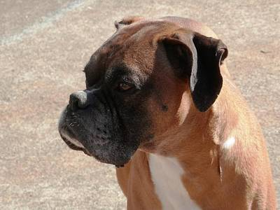 Photograph - Cody The Boxer by Belinda Lee