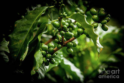 Photograph - Coffee Beans by Iris Greenwell