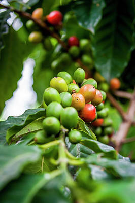 Photograph - Coffee Plant by Daniel Murphy