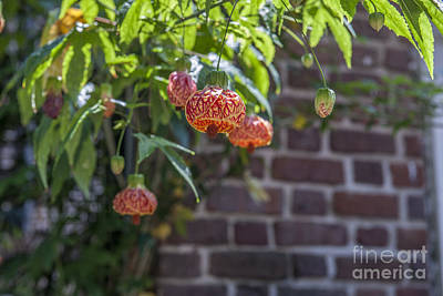 Photograph - Chinese Lantern Flower by Dale Powell
