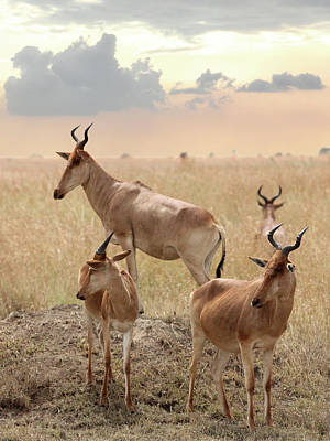 Photograph - Coke's Hartebeest Antelopes In Tanzania by Gill Billington