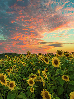 Photograph - Colby Farm Sunflowers by Bryan Xavier