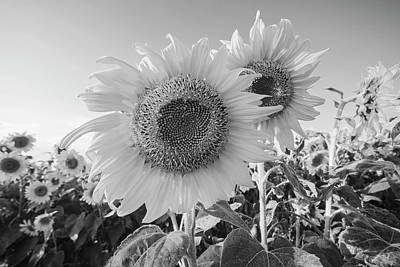 Photograph - Colby Farms Sunflower Field Closeup Black And White by Toby McGuire