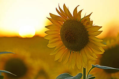 Photograph - Colby Farms Sunflower Field Newbury Ma Closeup Sunset by Toby McGuire