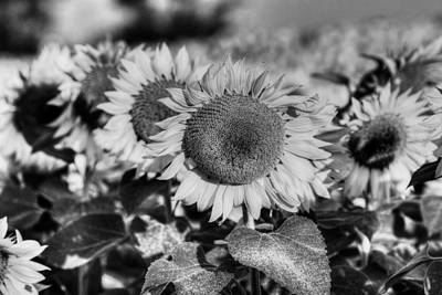 Photograph - Colby Farms Sunflower Field Newbury Ma Lineup Black And White by Toby McGuire