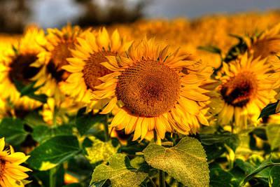 Colby Farms Sunflower Field Newbury Ma Lineup Art Print