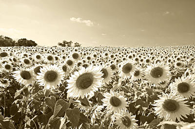 Photograph - Colby Farms Sunflower Field Newbury Ma Sepia by Toby McGuire