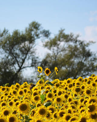 Photograph - Colby Farms Sunflower Field Newbury Ma Standing Tall by Toby McGuire