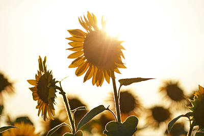 Photograph - Colby Farms Sunflower Field Newbury Ma Sunbeams by Toby McGuire