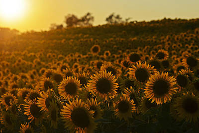 Photograph - Colby Farms Sunflower Field Newbury Ma Sunset by Toby McGuire