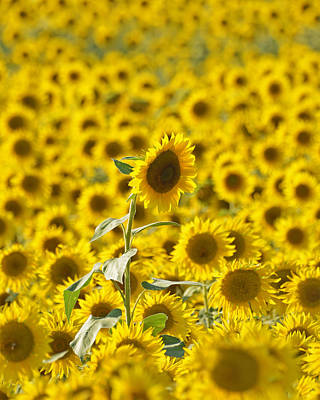 Photograph - Colby Farms Sunflower Field Newbury Ma by Toby McGuire