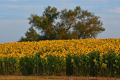Photograph - Colby Farms Sunflower Field Newbury Ma Tree by Toby McGuire