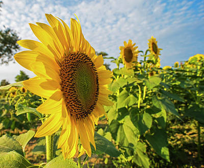 Photograph - Colby Farms Sunflower Field Side by Toby McGuire