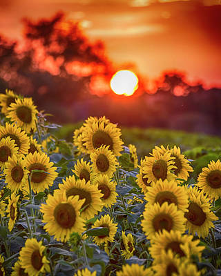 Photograph - Colby Farms Sunflower Field Sunset by Toby McGuire