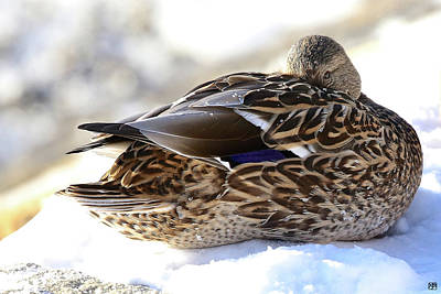 Photograph - Cold Duck by John Meader