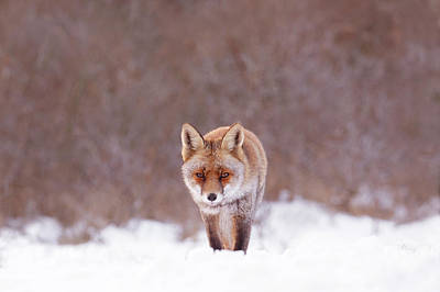 Cold Encounter - Red Fox In The Snow Art Print