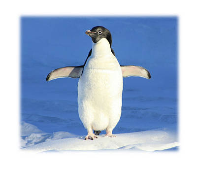 Cold Feet - Penquin In The Snow Art Print