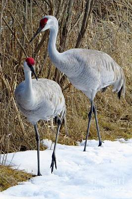 Photograph - Cold-footed Cranes by Frank Townsley