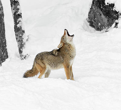 Photograph - Cold Howl by Steve McKinzie
