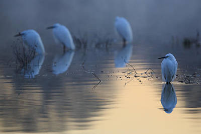 Egrets Photograph - Cold Mirror by Weevil