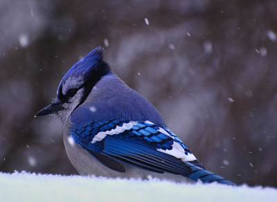 Digital Art - Cold Morning Jay by Fred Zilch