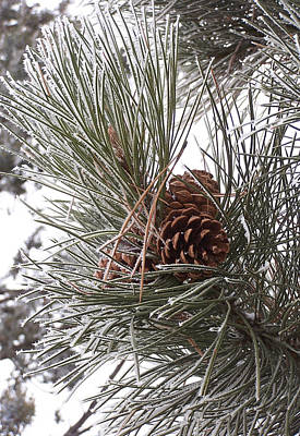 Photograph - Cold Pine by JK Dooley