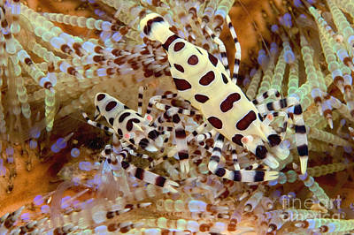 Blend Photograph - Coleman Shrimp by Dave Fleetham - Printscapes