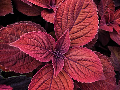 Photograph - Coleus 1 by Jill Love