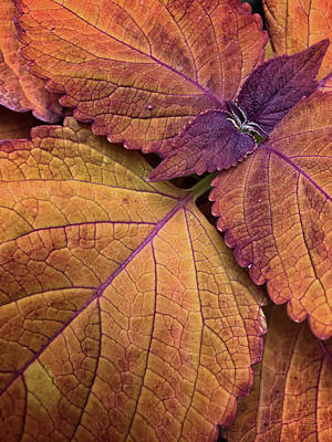 Photograph - Coleus 2 by Jill Love