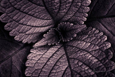 Dan Beauvais Royalty-Free and Rights-Managed Images - Coleus 6001 by Dan Beauvais