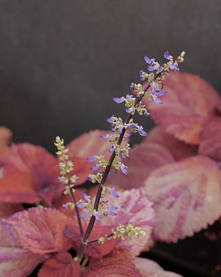 Photograph - Coleus Blooming by Tim Good