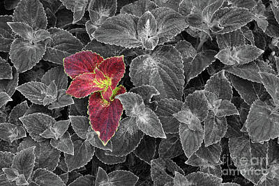 Photograph - Coleus by E B Schmidt