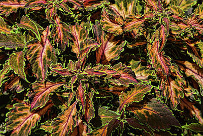 Photograph - Coleus Foliage by Alana Thrower