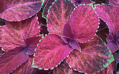 Photograph - Coleus Leaf 5 by Duane McCullough