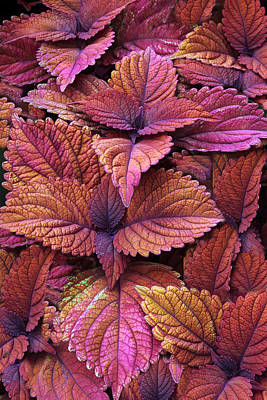 Photograph - Colorful Coleus   by Jessica Jenney