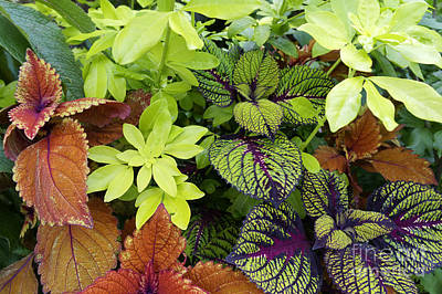 Photograph - Coleus Medley by John  Mitchell