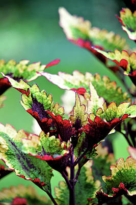 Photograph - Coleus by Michelle Joseph-Long