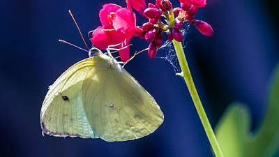 Colias Philodice Photograph - Colias Philodice by Rob Sellers