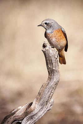 Redstart Photograph - Colirrojo Real by Hernan Bua