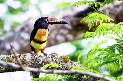 Animal Portraits Royalty Free Images - Collared Aracari -Pteroglossus torquatus  Royalty-Free Image by Charles Wollertz