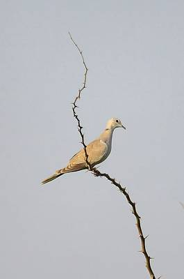 Photograph - Collared Dove by Balram Panikkaserry