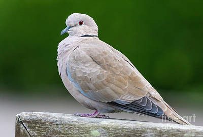 Dove Photograph - Collared Dove by Geoff Smith