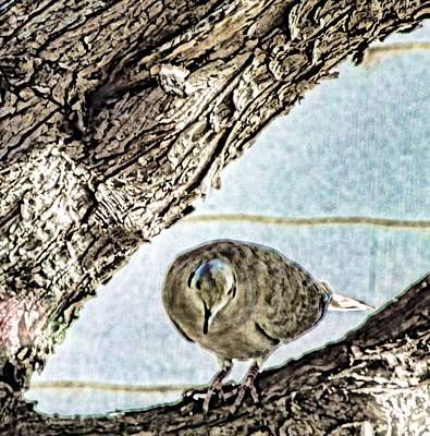 Digital Art - Collared Dove Watercolor by Aliceann Carlton
