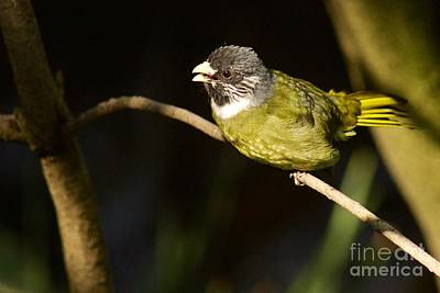 Photograph - Collared Finch-bill by Sean Griffin
